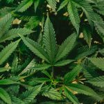 The Next Disruptor in the Cannabis Industry: Delta-8. So What Exactly Is It?